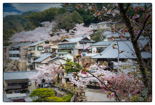 Sakura on Miyajima.