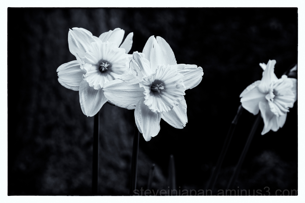 Daffodils in black and white.