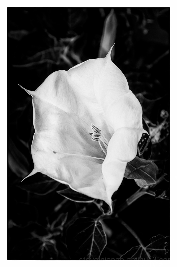 A Morning Glory in black and white.