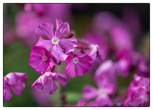 Flower in Diana's garden.