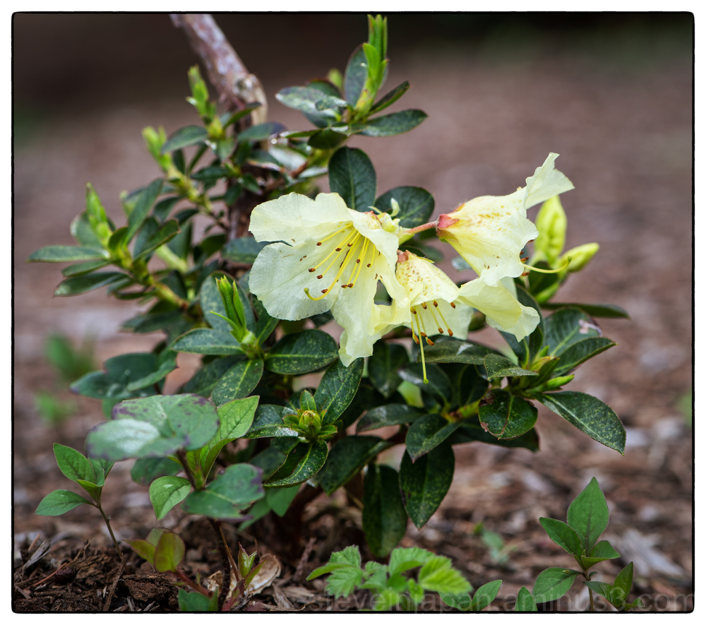 A Dwarf Rhododendron in the backyard.