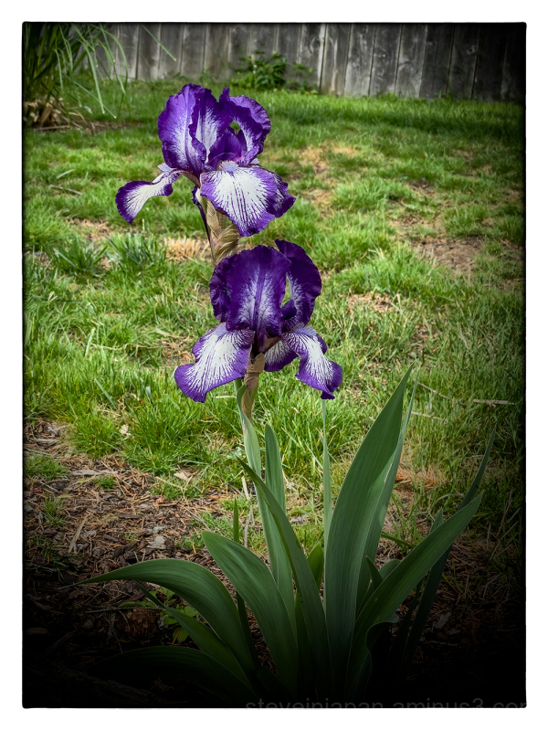 An Iris seen on a walk.