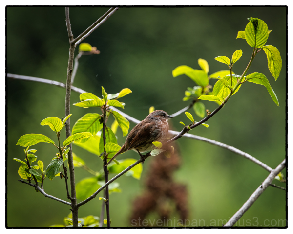A Song Sparrow at McLane Creek.
