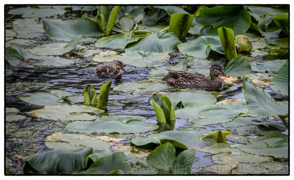 Mallards at McLane Creek.