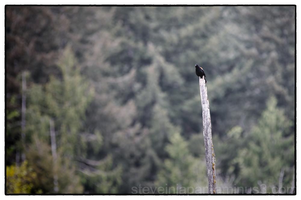 Red-winged Blackbird at McLane Creek.