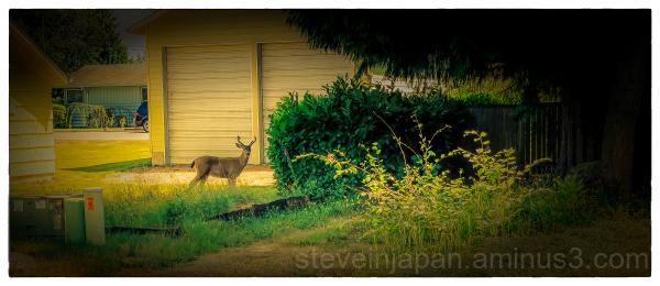 Deer on the street in Olympia.