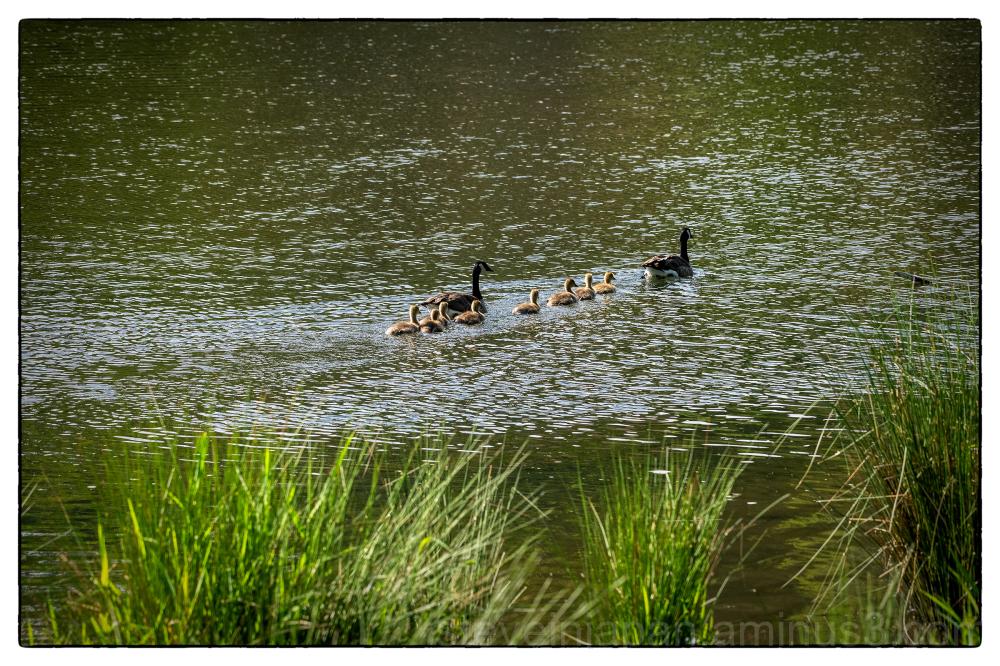 The Goslings' Adventure!