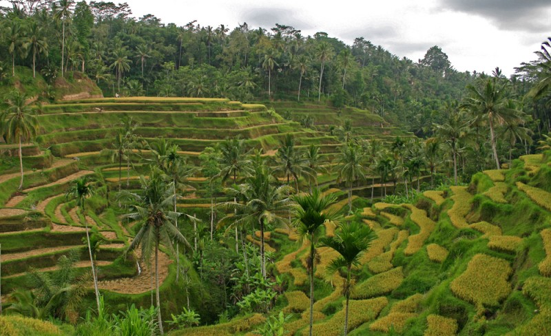 The terraced rice paddies of Bali