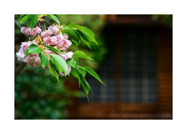 桜 京都 日本 cherry blossoms at a temple in Kyoto