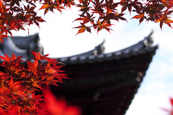 Red maple in Kyoto with temple roof