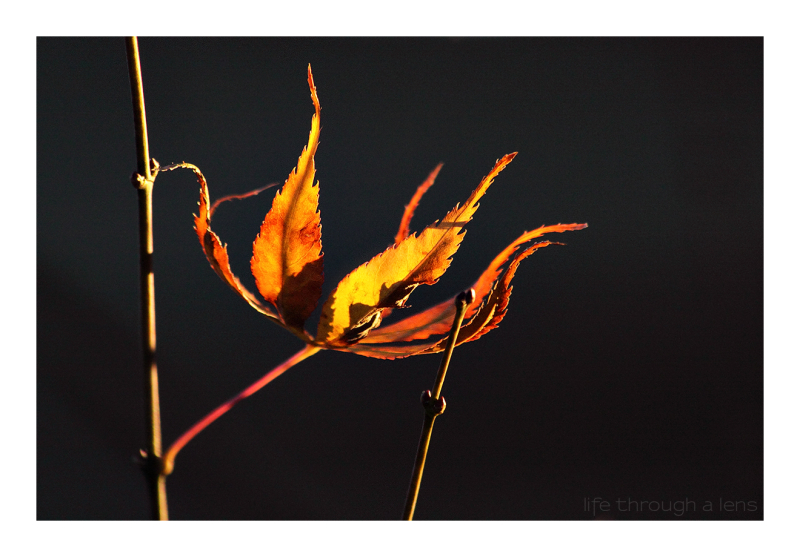 Autumnal Flame