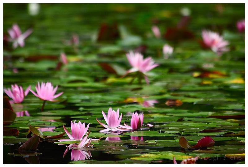 the lotuses of Heian shrine: II/IV