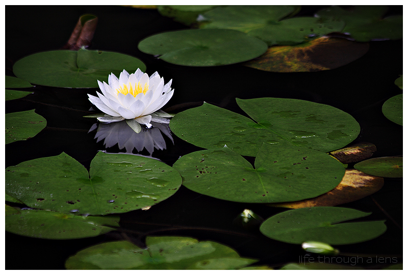 the lotuses of Heian shrine: III/IV