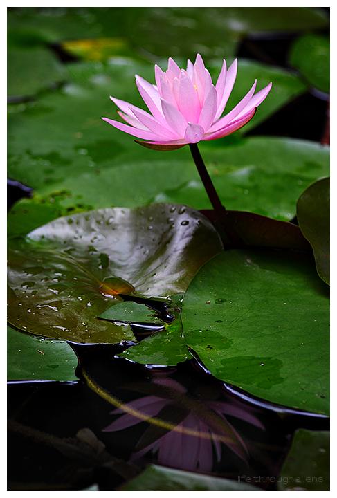the lotuses of Heian shrine: I/IV