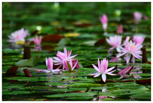 the lotuses of Heian shrine: V/V