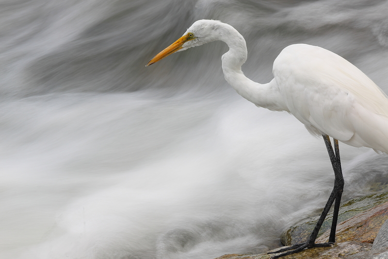 Kyoto's city centre wildlife: Great Egret