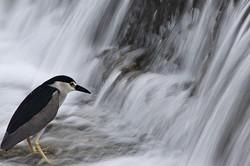 Kyoto's city centre wildlife: Night Heron