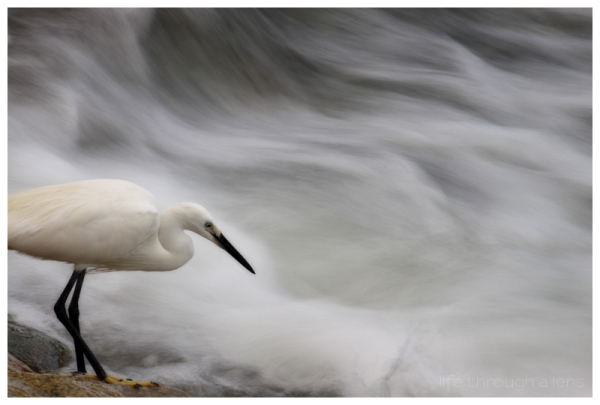A little egret feeds on a river in Kyoto.