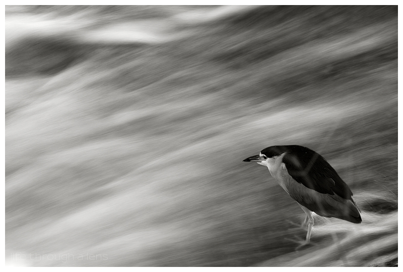 Kyoto's City Centre Wildlife - Night Heron