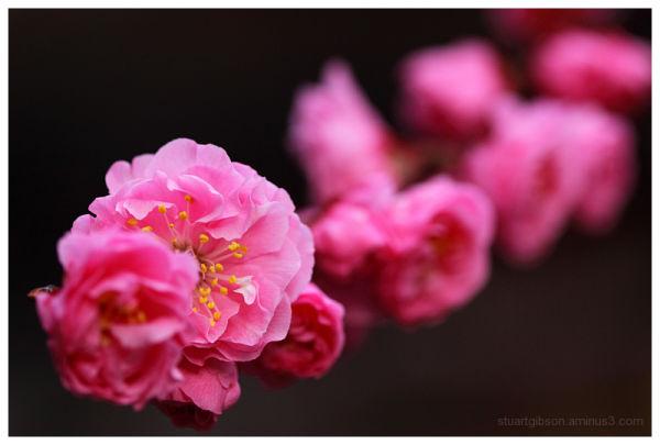 梅 - plum blossom