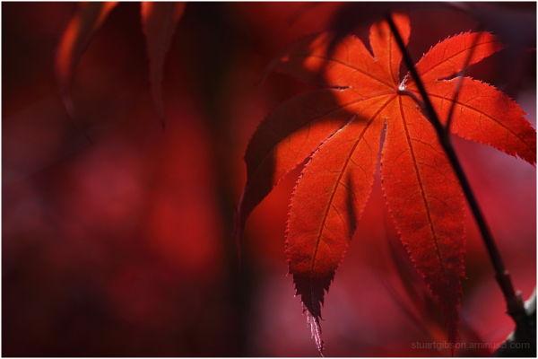 Spring Maple