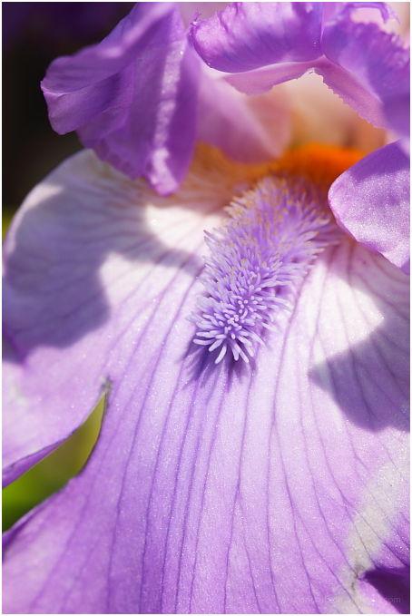 purple tickler