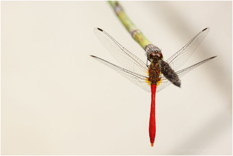 dragon fly study 1/3: top view