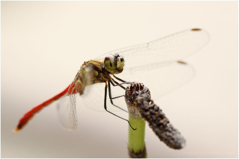 dragon fly study 2/3: side view