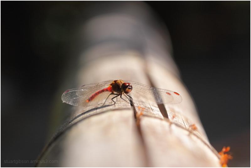 トンボ - Dragonfly