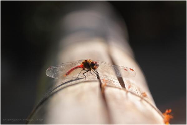 トンボ   Dragonfly