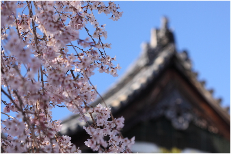 桜 - cherry blossom