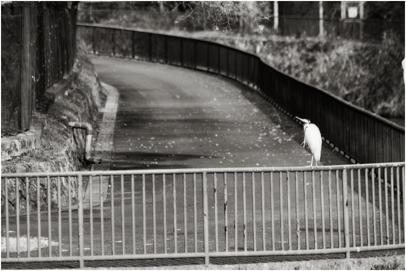 pelican crossing?