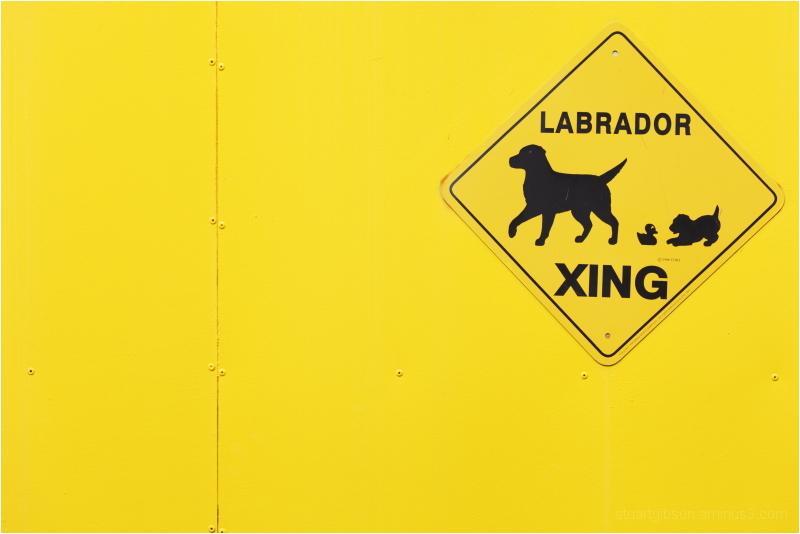 Golden. Labrador.