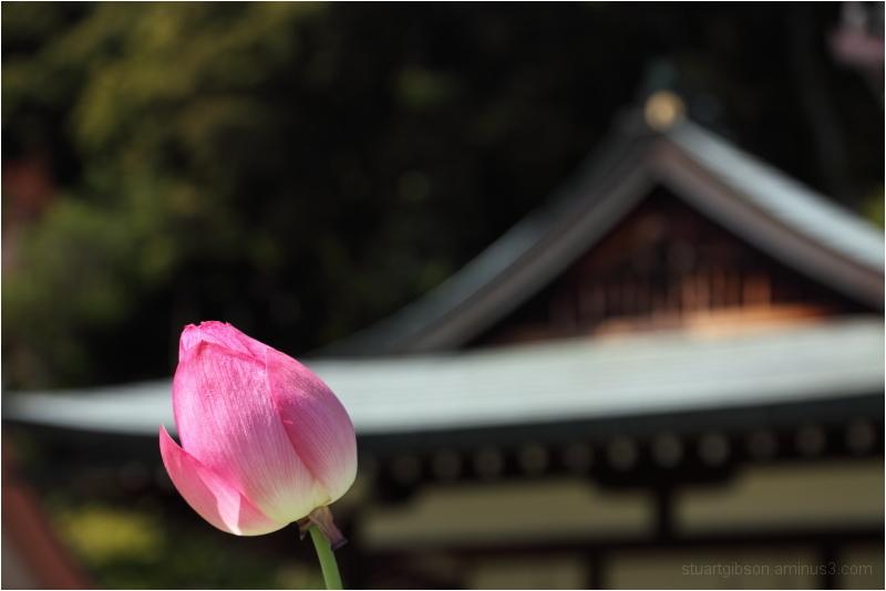 Lotus, at Mimurodo temple, 三室戸寺