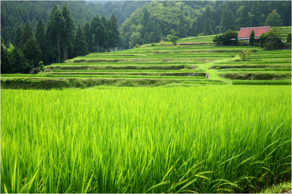 The terraced rice fields of Takashima