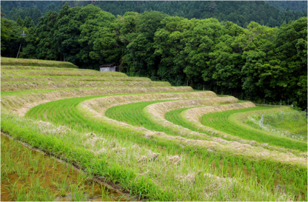 the rice fields of rural Kyoto