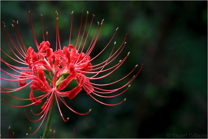 Red Spider Lilly (Lycoris radiata)