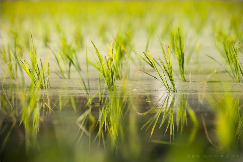 fresh rice, Ohara