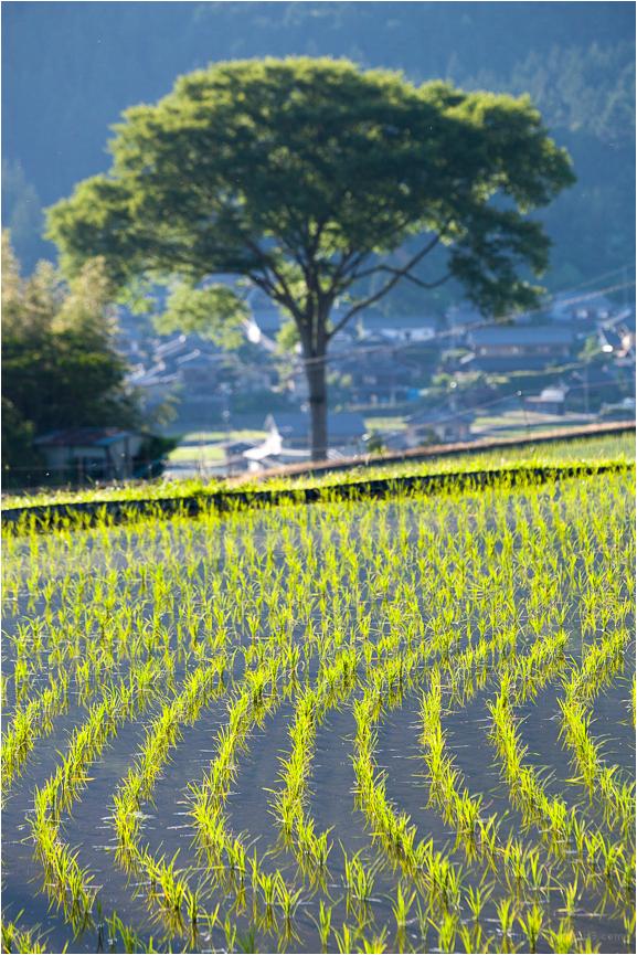 luminous rice, at golden hour