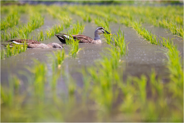 swimming among the rice