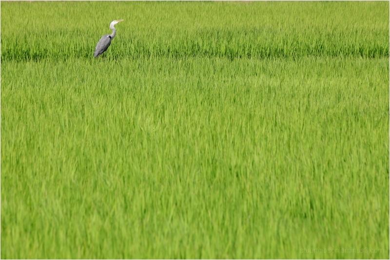 among the rice