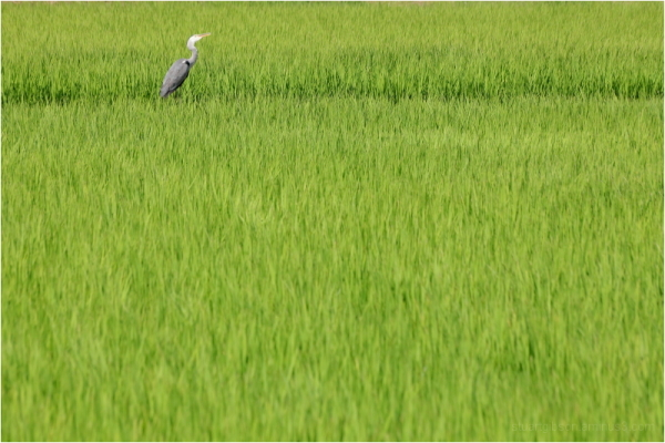among the rice