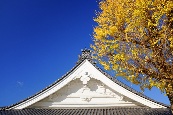銀杏 - Ginko in Fall