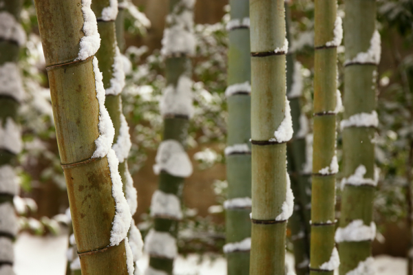 winter bamboo