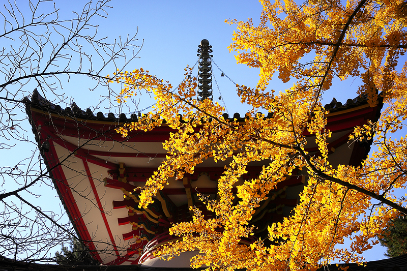 銀杏 - Ginko in Fall at Chion-in