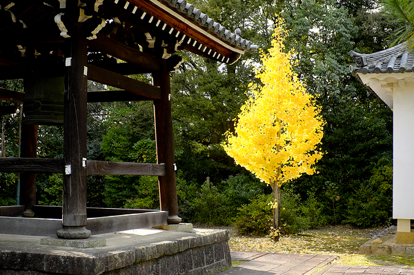 the perfectly formed ginko tree