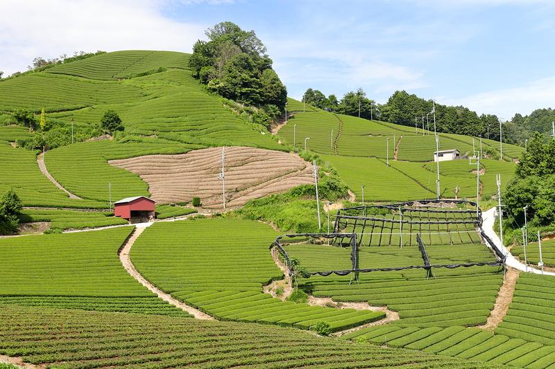 the manicured tea fields of wazuka