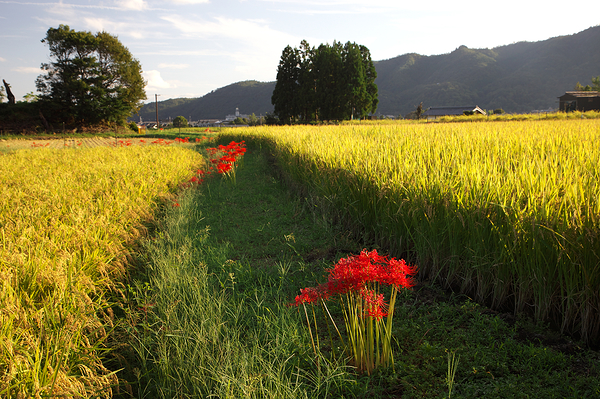 golden rice at golden-hour