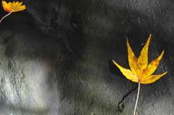 maple on stone