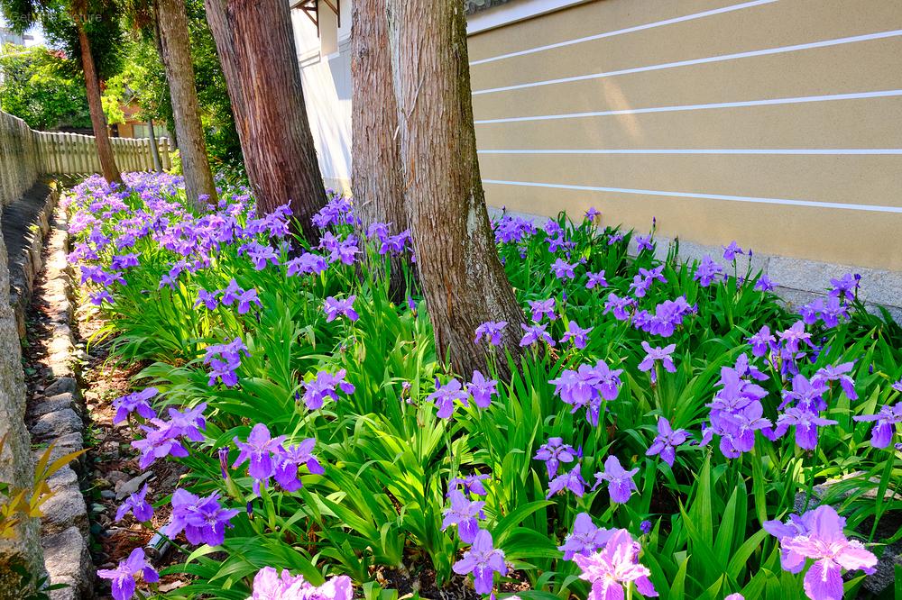irises at kamigoryo shrine